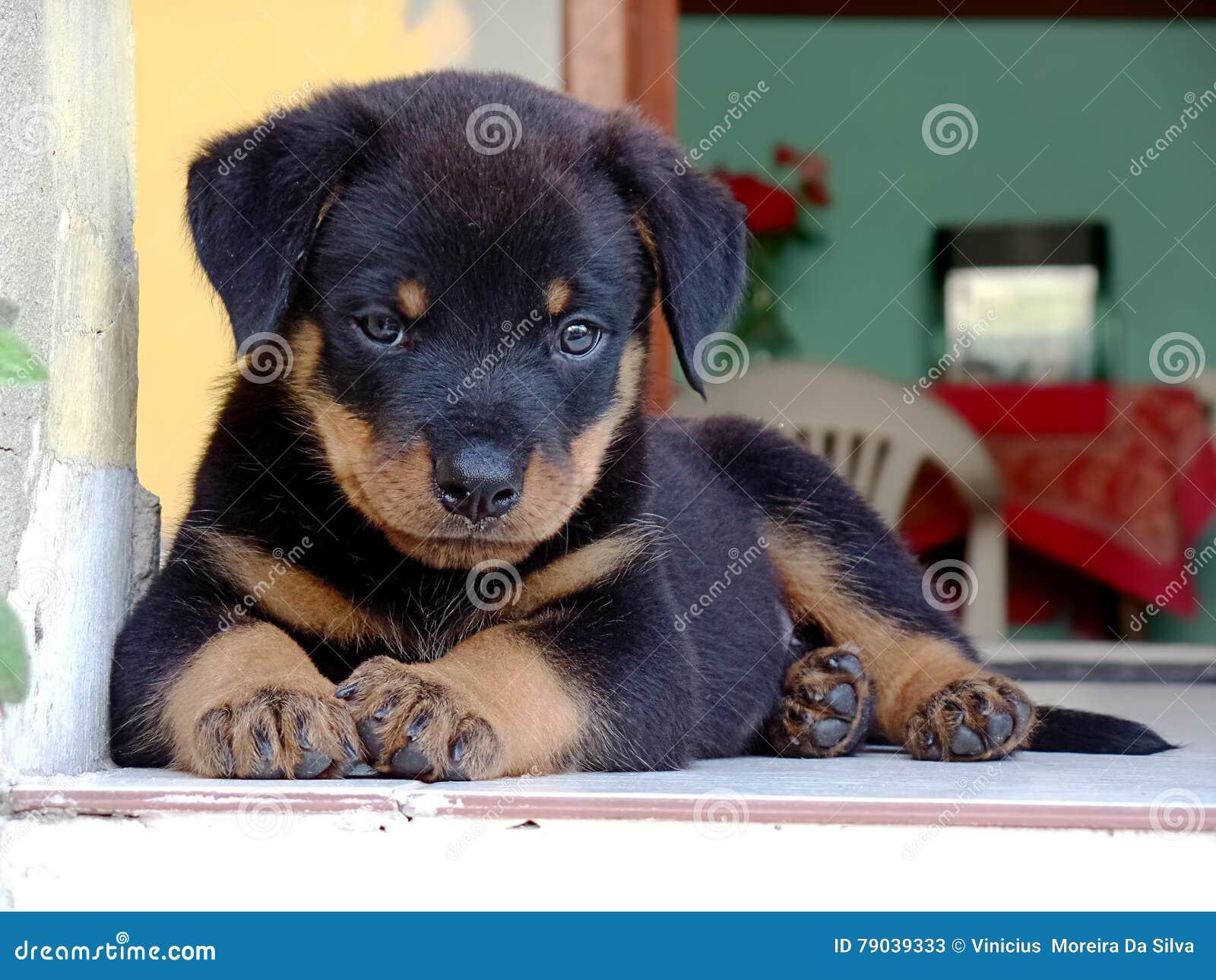 Piękny Rottweiler szczeniaka relaksować
