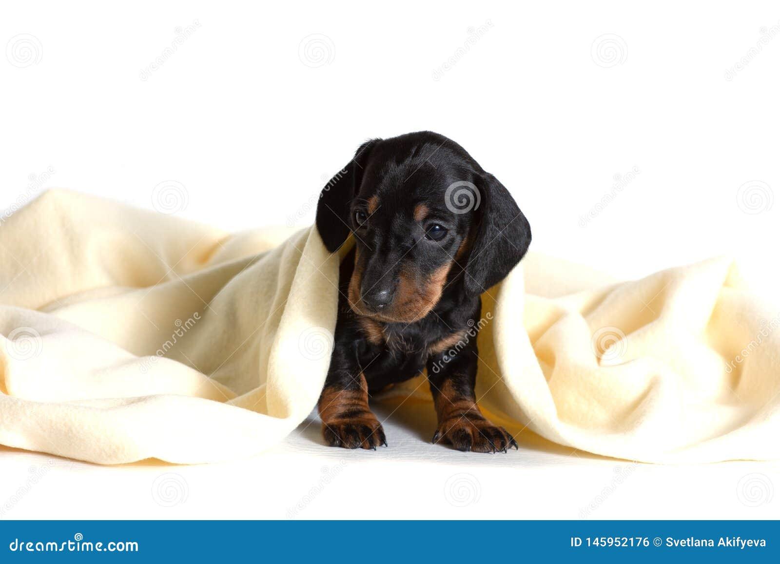 Piękny szczeniaka jamnika obsiadanie, zakrywający z żółtą koc i patrzeć naprzód,