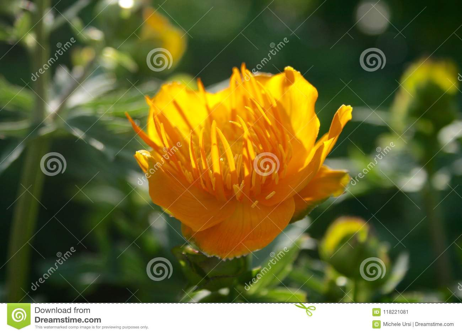 Piękny trollius chinensis, złota królowa, kula ziemska kwiat