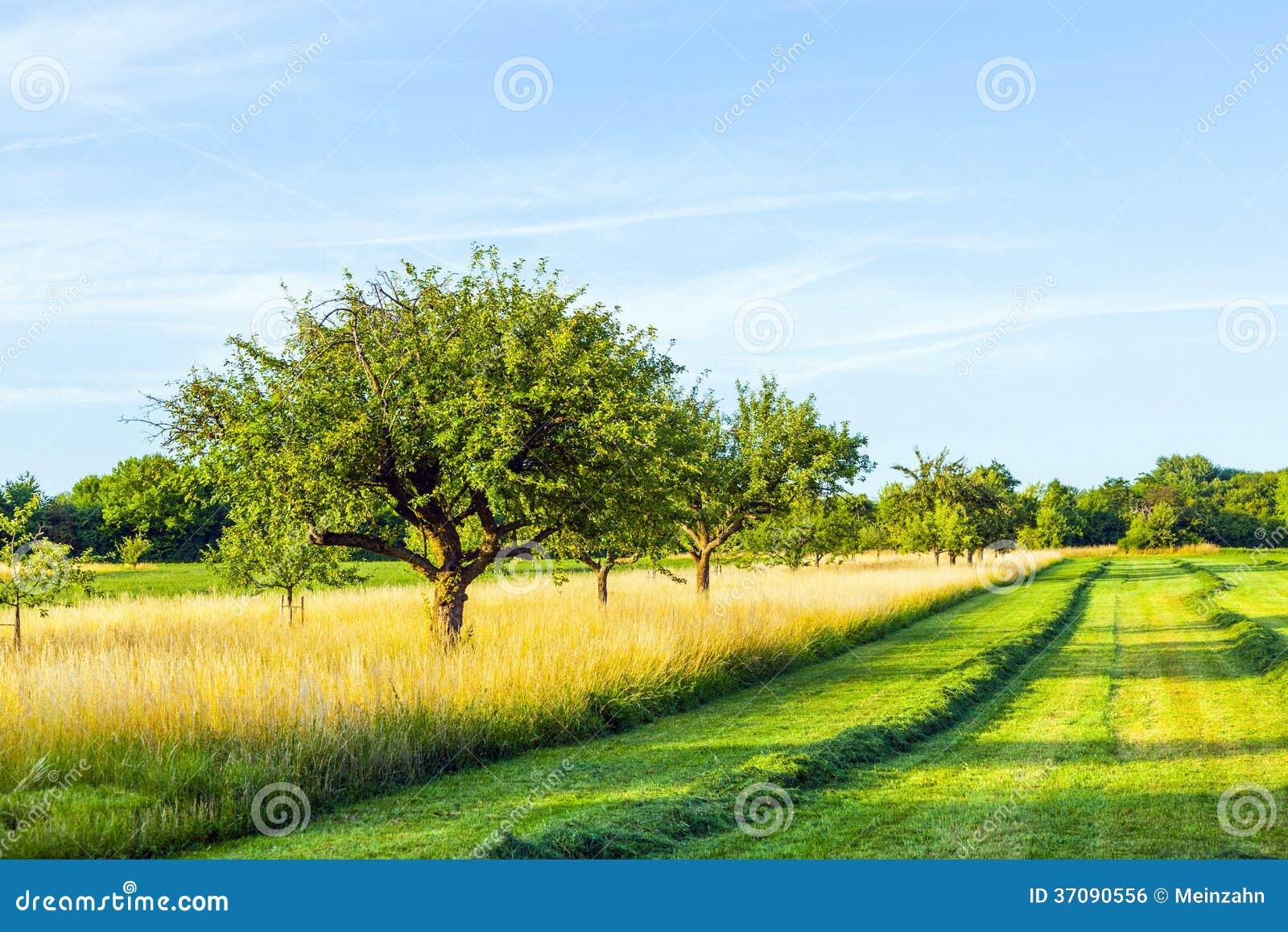 Download Piękny Typowy Speierling Jabłko Zdjęcie Stock - Obraz złożonej z niemcy, przyrost: 37090556