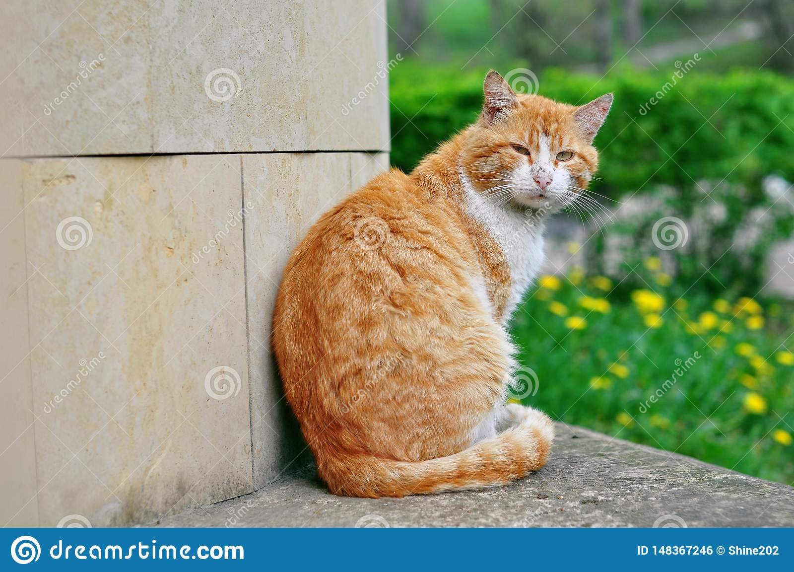 Pi?kny uliczny czerwony kot