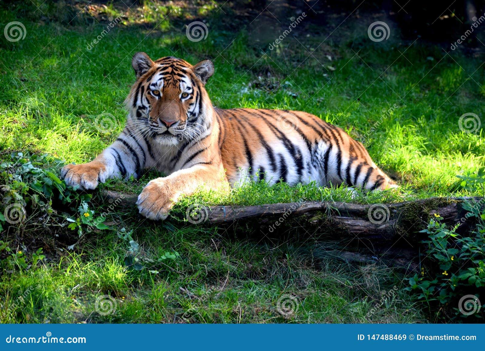 Piękny Ussurian tygrys kłama na trawie