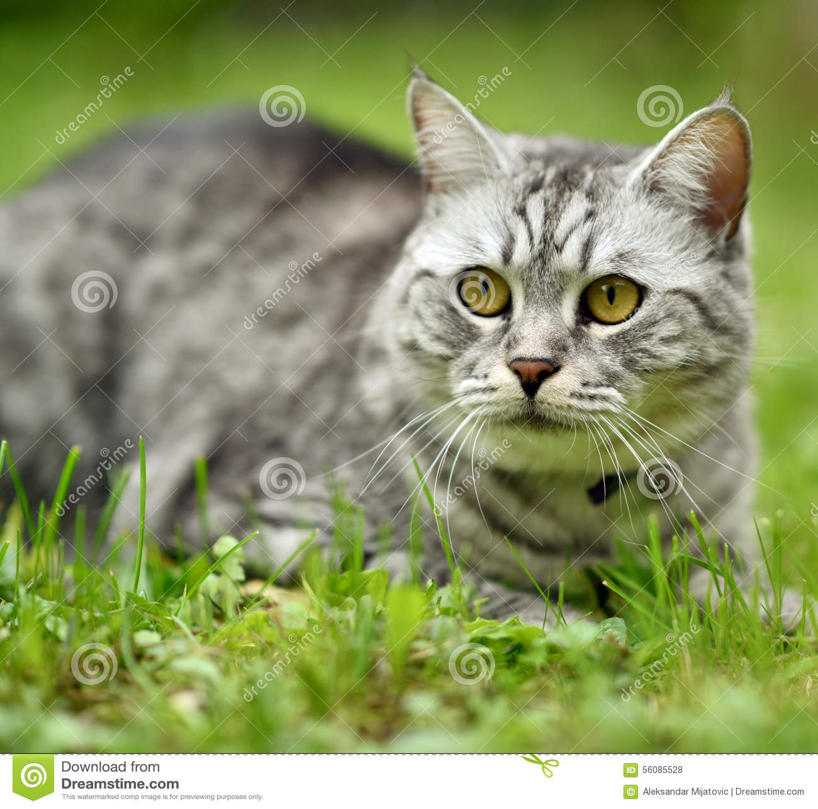 Piękny wściekłość kota portret