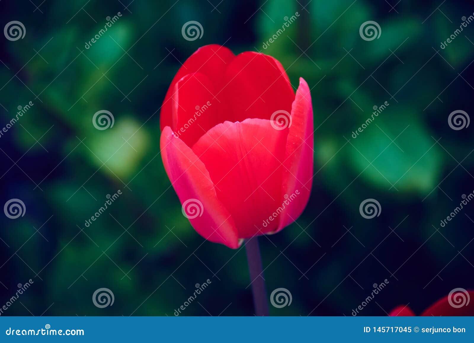 Piękny widok czerwony tulipan w ogródzie obok zielonego tła rośliny