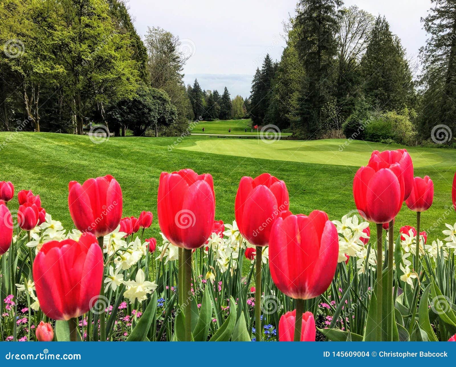 Piękny widok pole golfowe z zielenią otaczającą wiecznozielonym lasem w tle i ogród czerwoni tulipany,