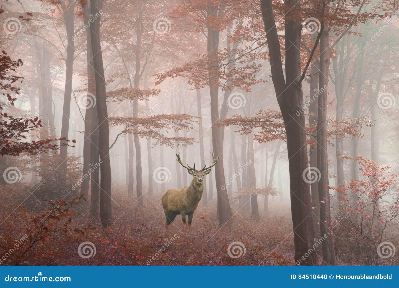 Piękny wizerunek czerwonego rogacza jeleń w mgłowej jesieni kolorowym lesie