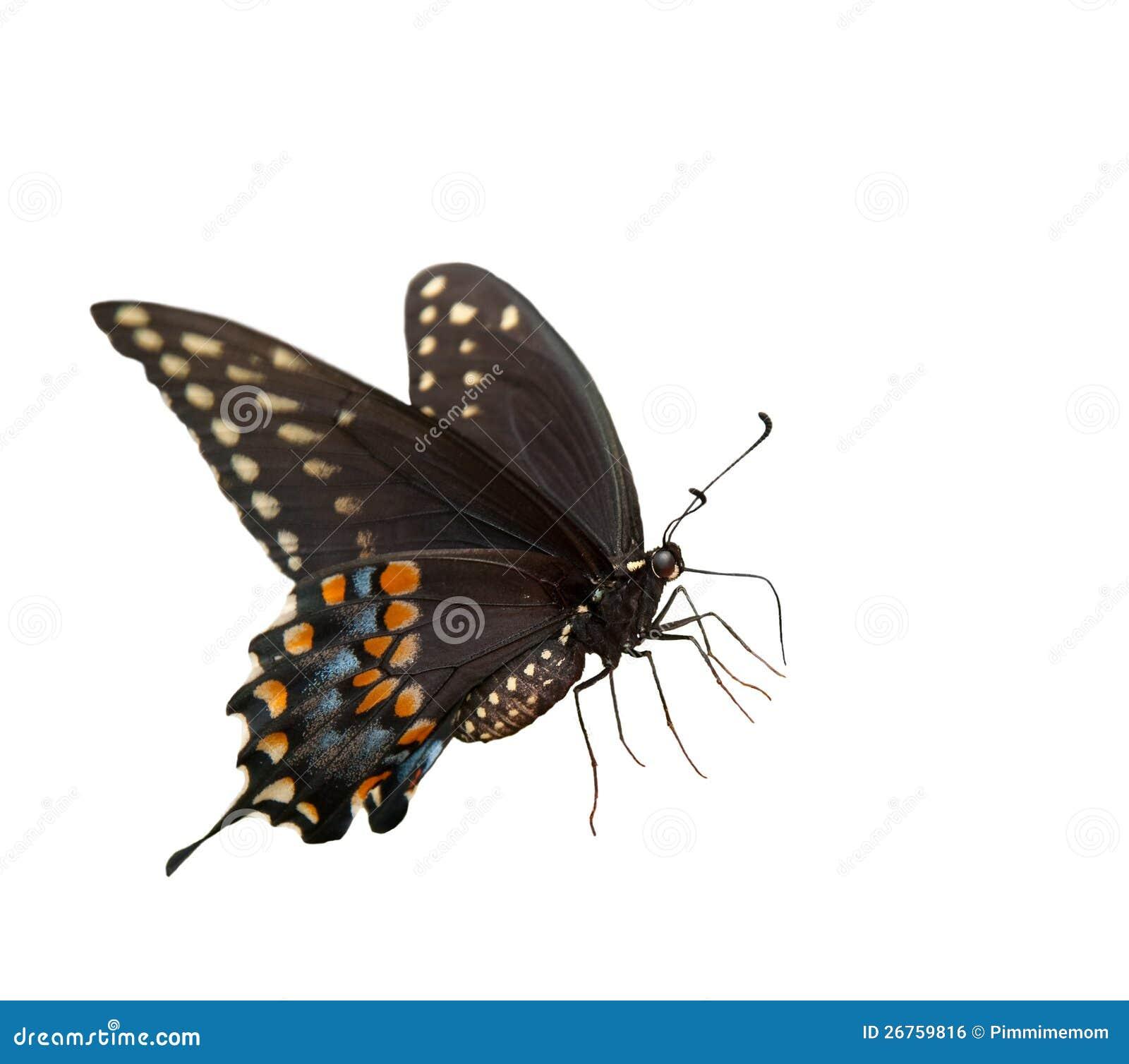 Piękny Wschodni Czarny Swallowtail