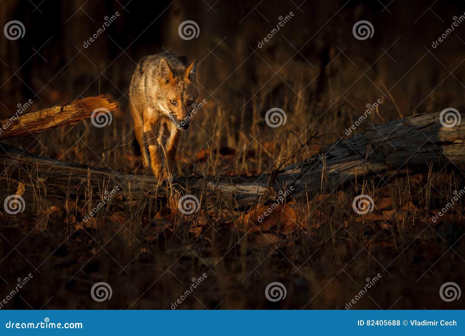 Piękny złoty szakal w ładnym miękkim świetle w India
