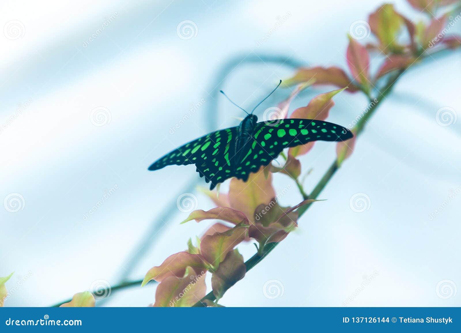 Piękny zieleni i czerni motyli obsiadanie na zielonych liściach, przyrody scena od dżungli