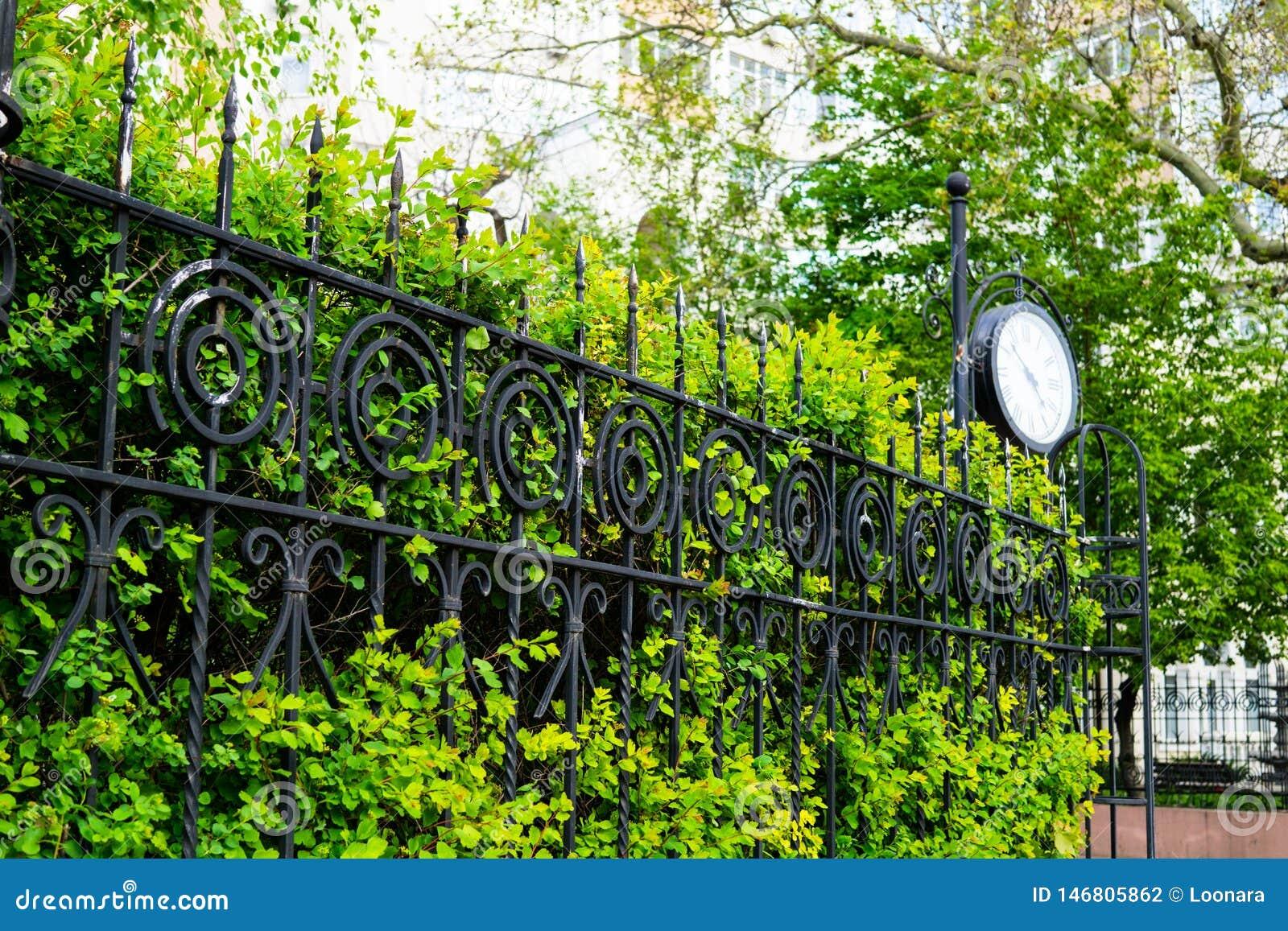 Piękny zielony żywopłot, ogrodzenie z roślinami w wiośnie