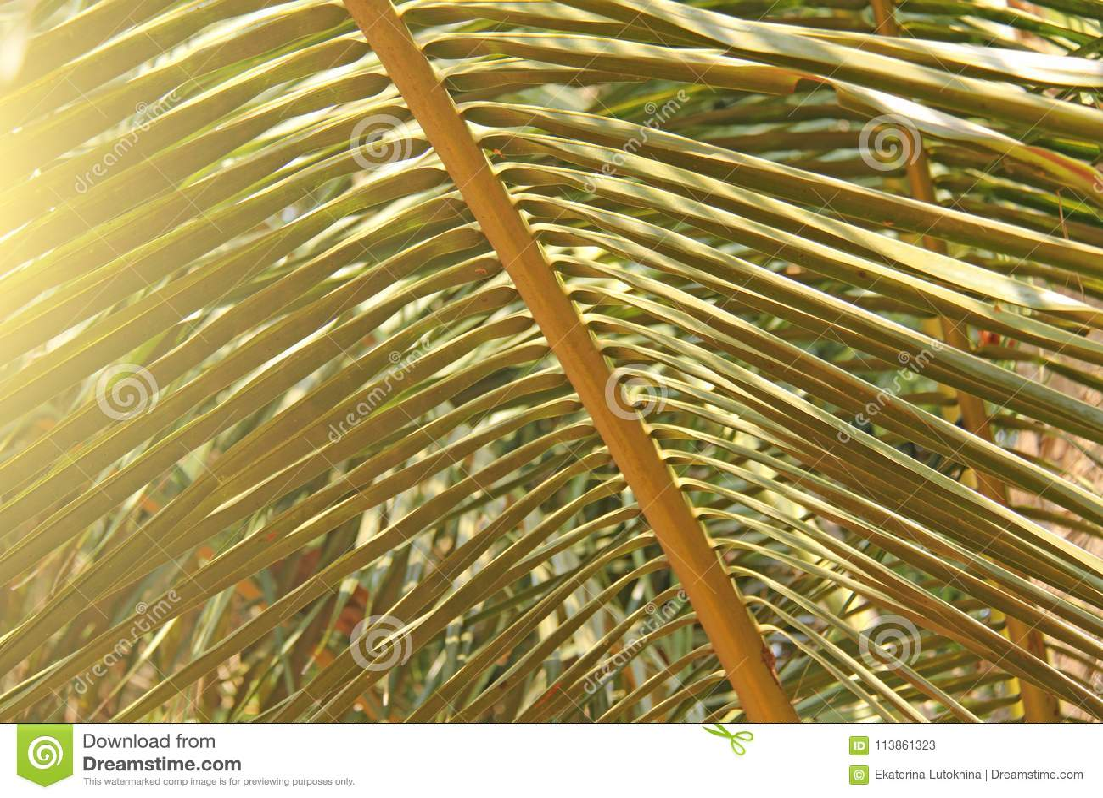 Piękny Zielony Palmowy liść i słońce Zielony tło drzewko palmowe