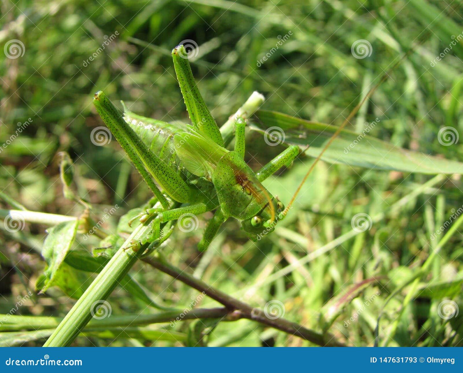 Pi?kny zielony pasikonika zbli?enie w zielonej trawie