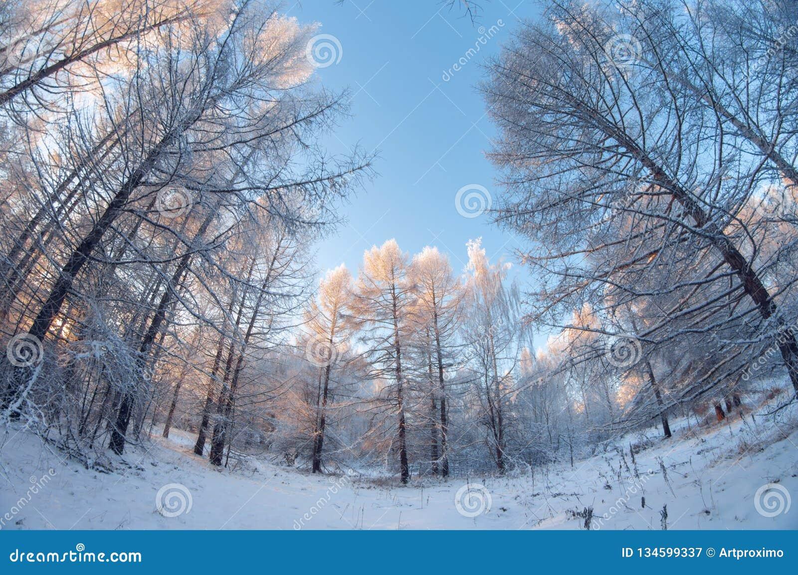 Piękny zima krajobraz, śnieżny las na słonecznym dniu, rybiego oka wykoślawienie, wysocy śnieżni drzewa z niebieskim niebem