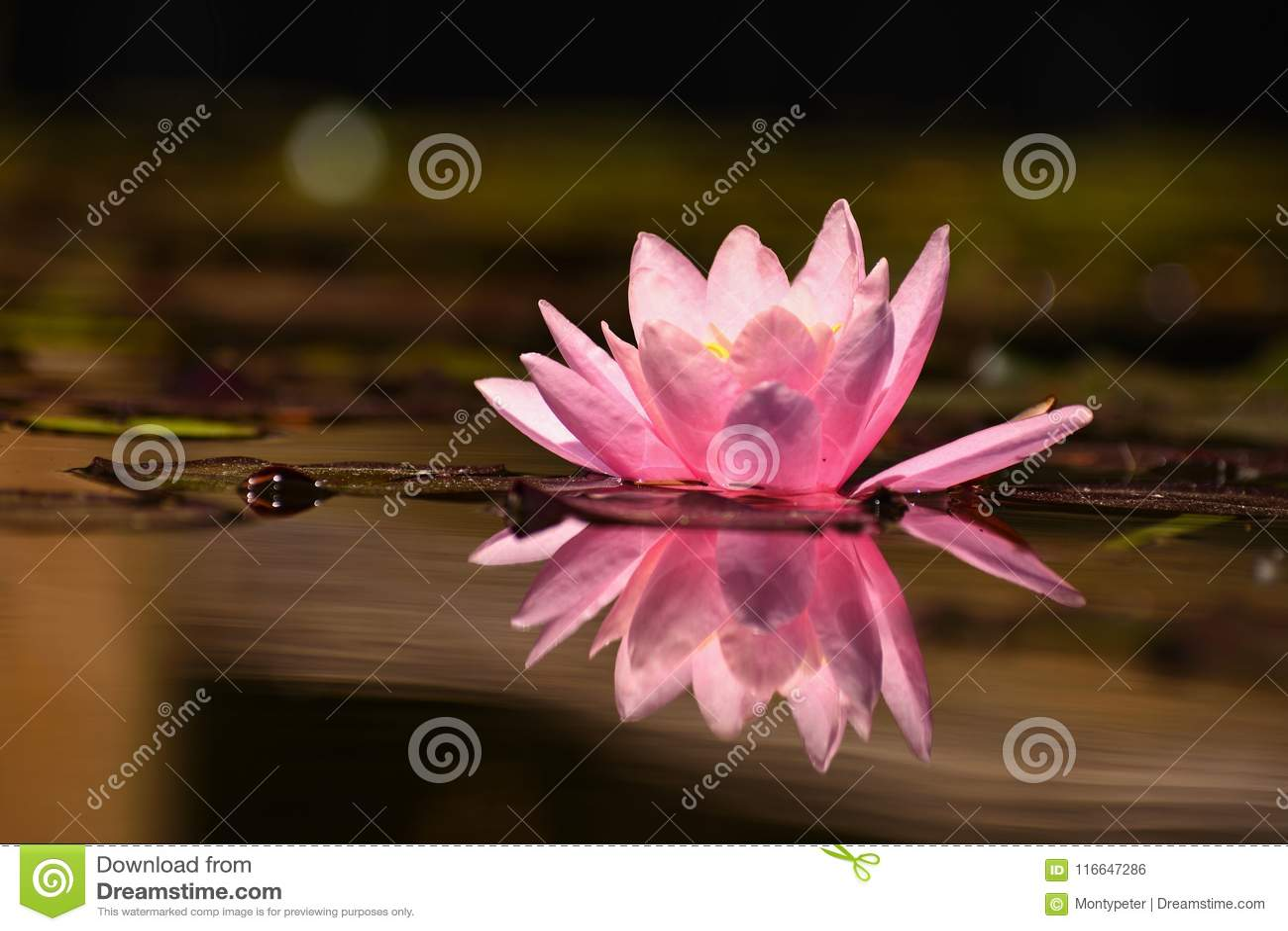 Pięknych kwiecenie menchii wodna leluja - lotos w ogródzie w stawie tło odbicia pluskotali nawierzchniową wodę