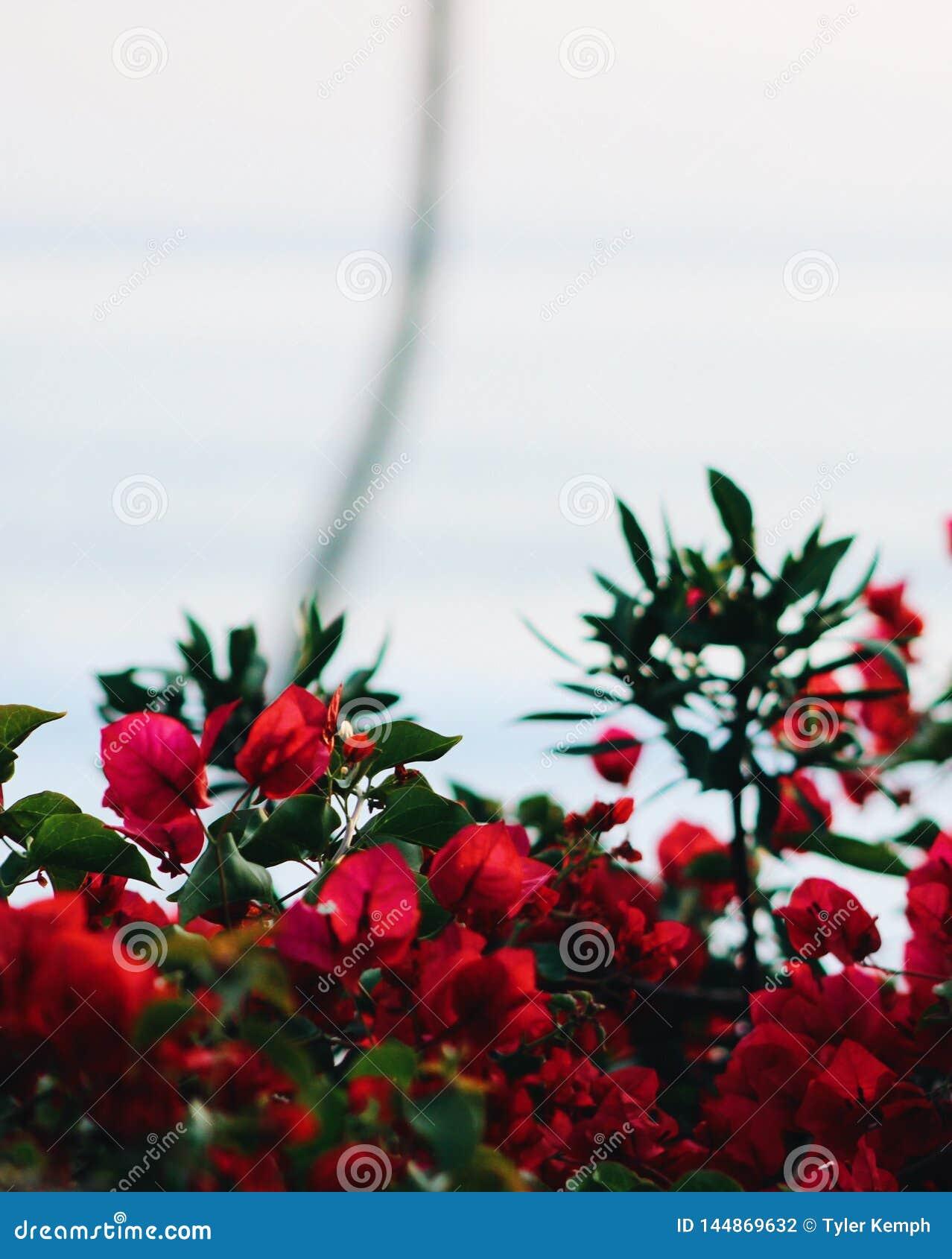 Pi?kna zamkni?tych kwiat?w naturalne menchie wzrastali naturalny