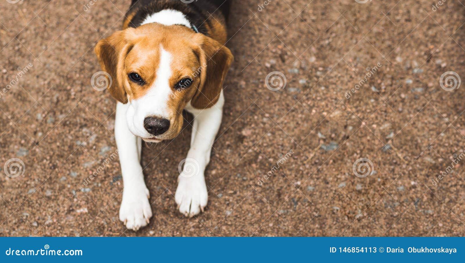 Pi?knego beagle ?owiecki pies na zmielonym tle z przestrzeni? dla co?