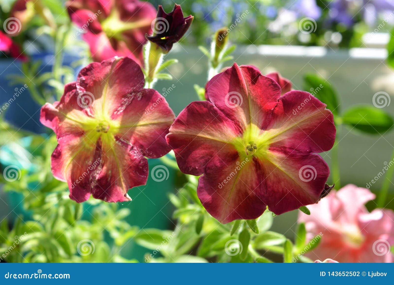 Pi?kni Kolorowi petunia kwiaty Jaskrawy kwitnąć rośliny w zielenieć mały miastowy ogród na balkonie