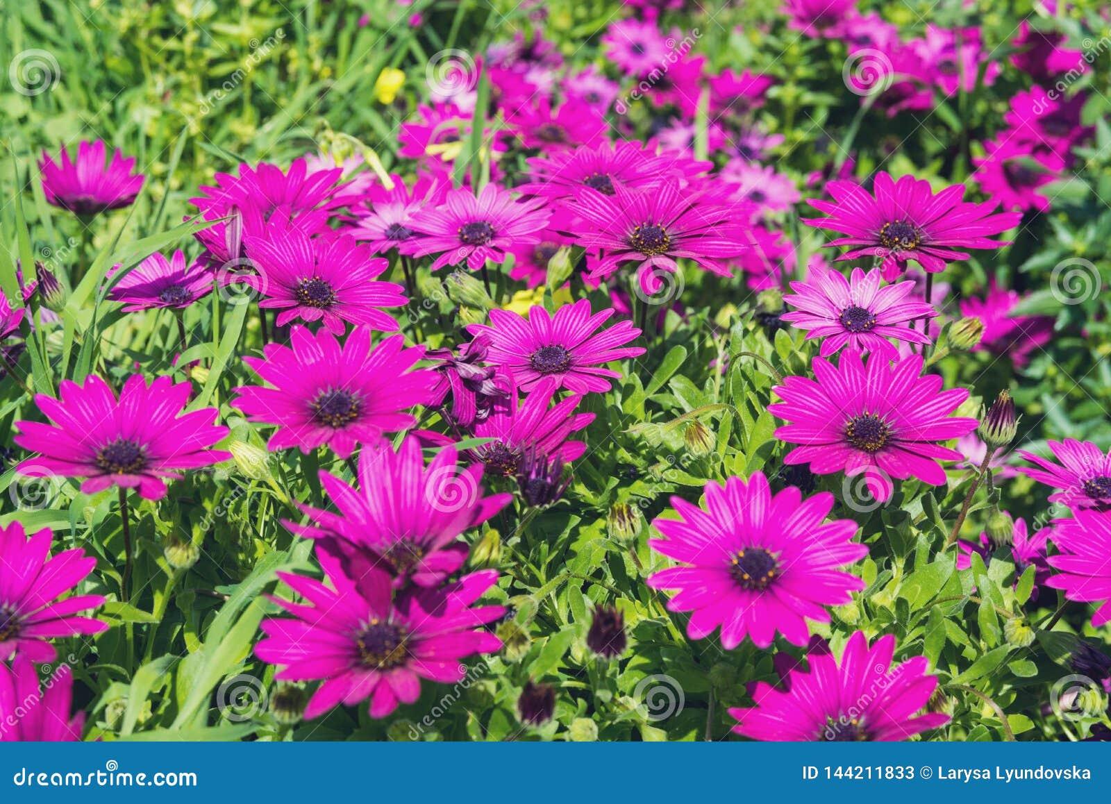 Pi?kny bez kwitnie jak stokrotka Osteospermum Eklon Osteospermum ecklonis na tle zieleni li?cie Zako?czenie
