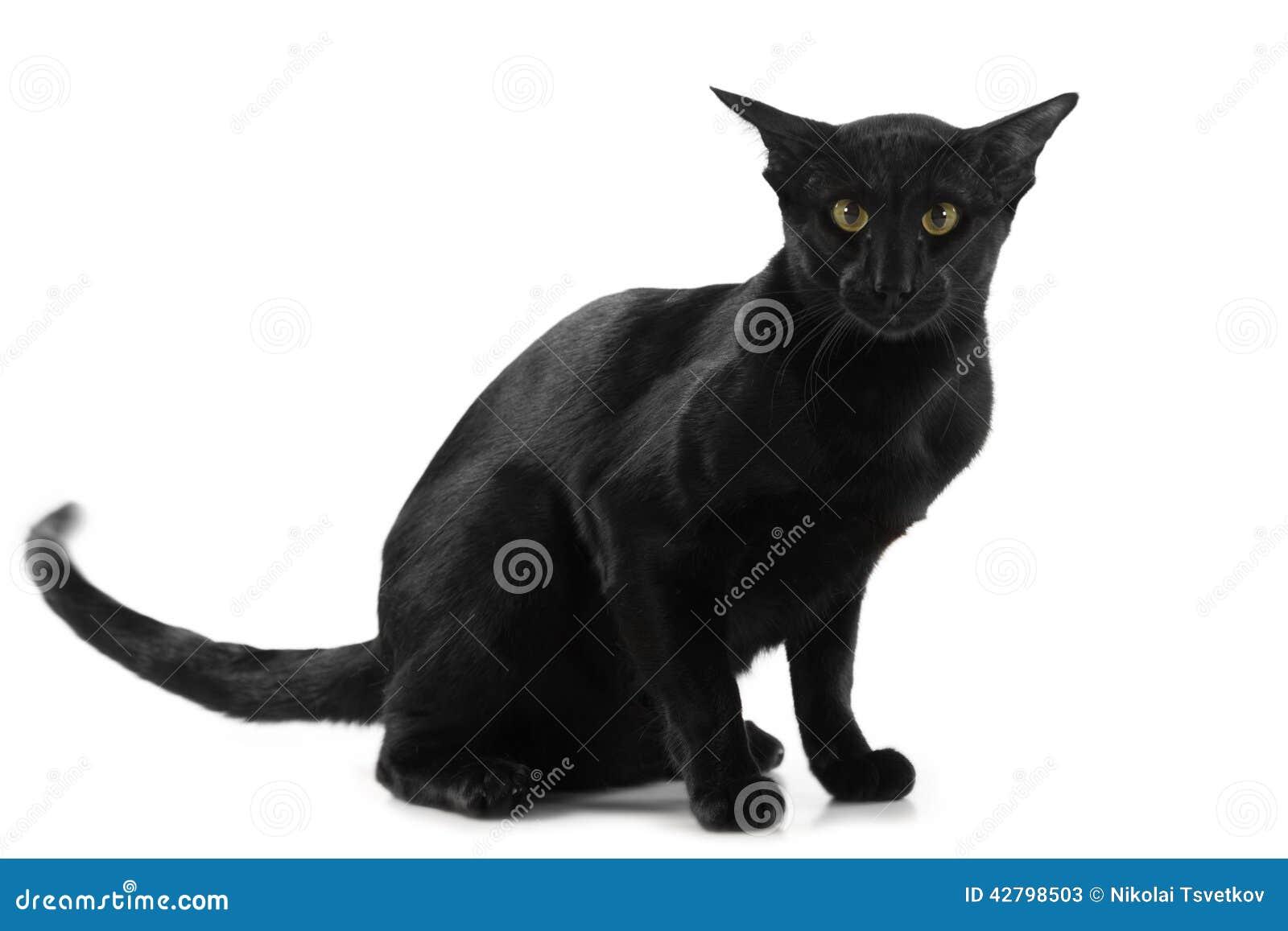 Piękny Czarny Orientalny Kot Obraz Stock Obraz Złożonej Z Zmrok