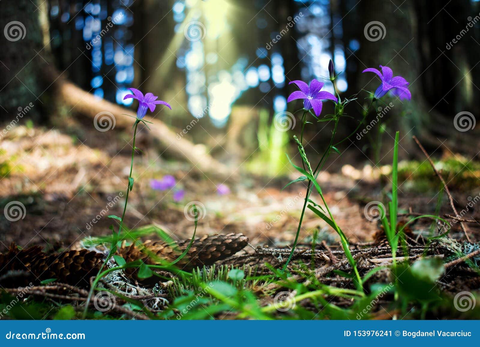 Pi?kny g?ra krajobraz Obrazek purpurowy kwiatu dorośnięcie w halnych lasach w cieniu drzewa, Pokój wewnątrz i pokój