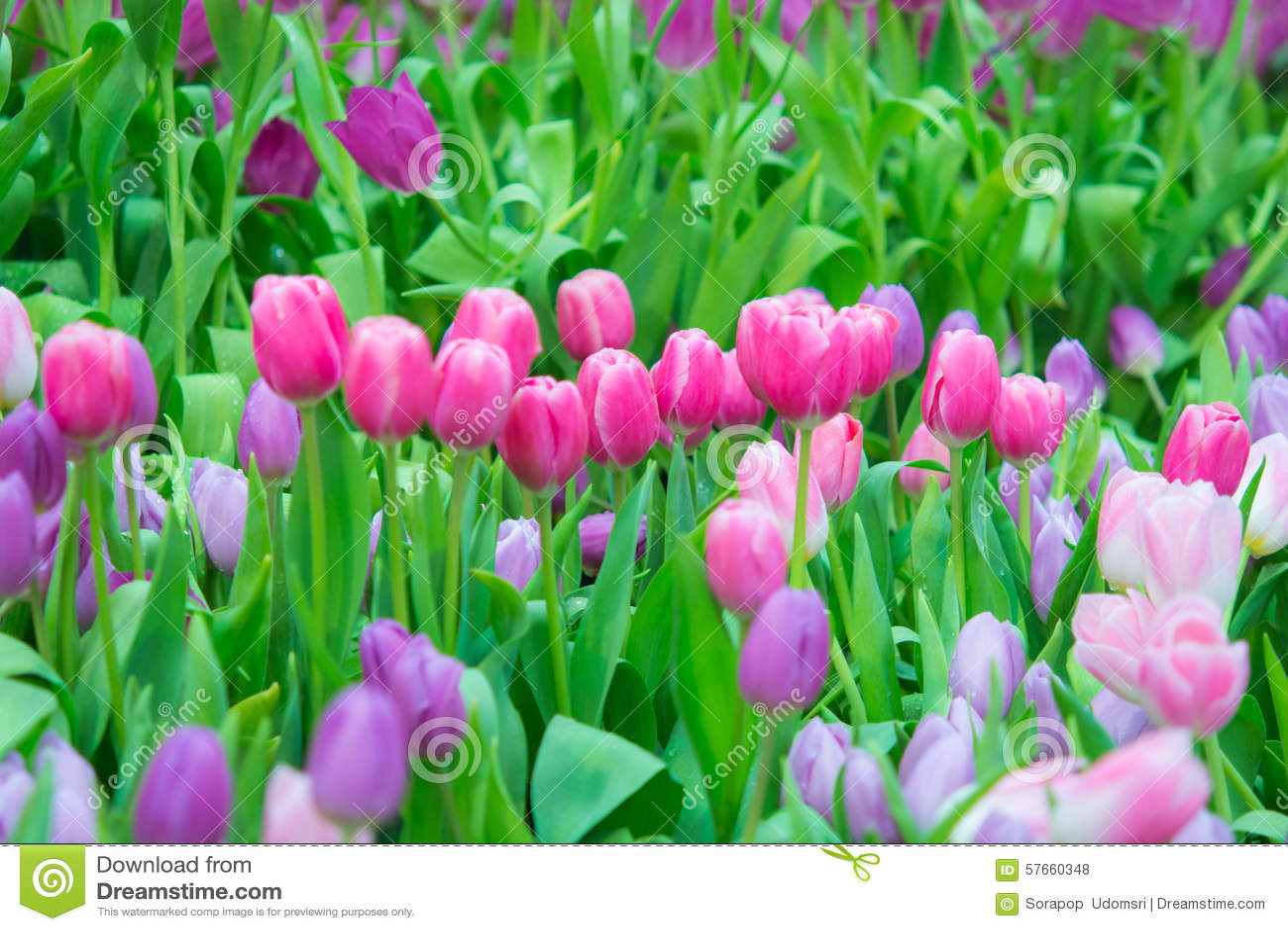 Piękny kolorowy Tulipanowy kwiat