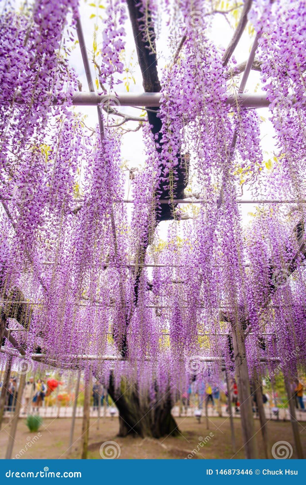Pi?kny widok Wielki purpur menchii ?a?o?ci okwitni?cia drzewo, Ashikaga, Tochigi, Japonia