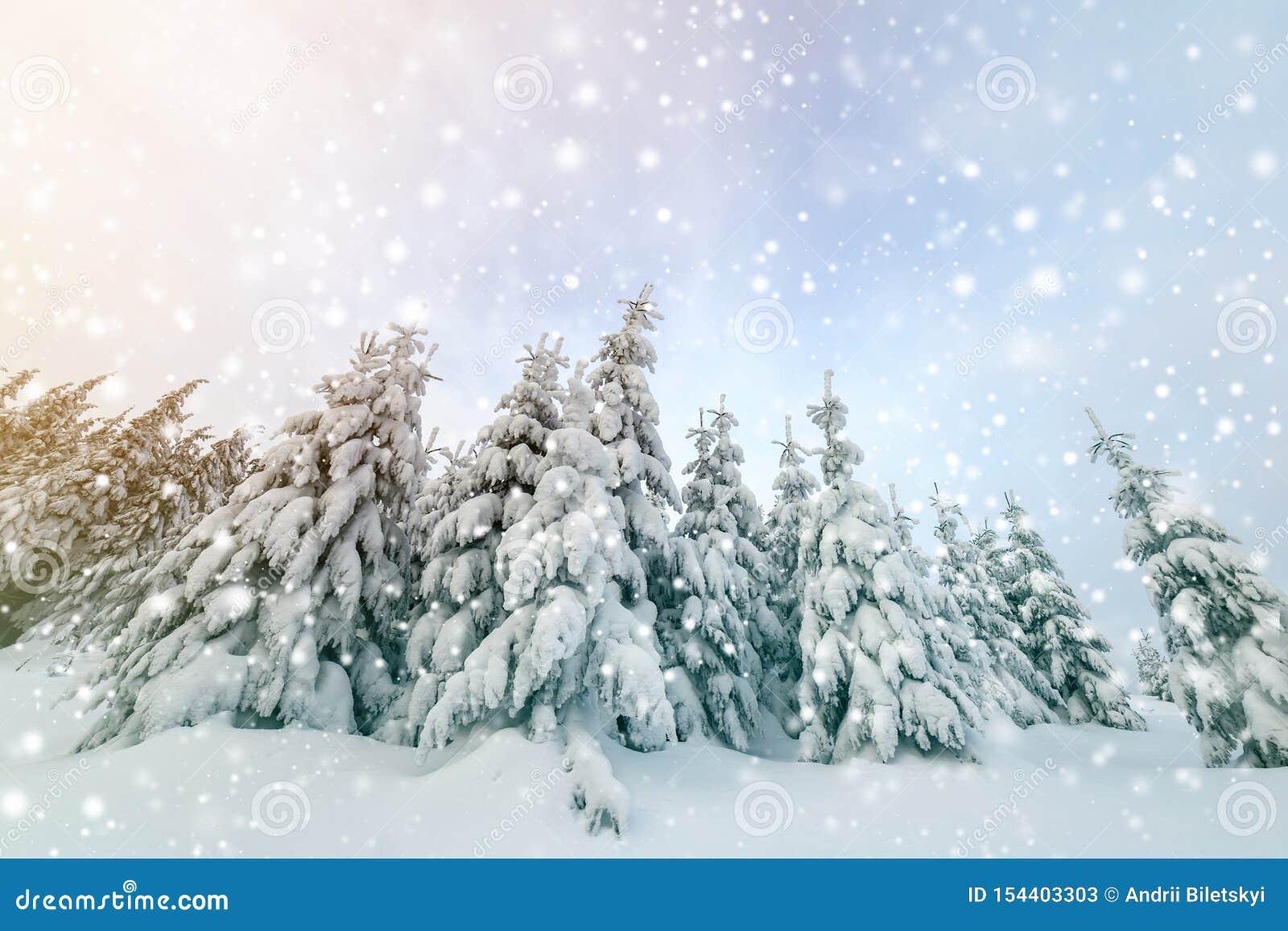 Pi?kny zimy g?ry krajobraz Wysocy świerkowi drzewa zakrywający z śniegiem w zima lesie i chmurnego nieba tle