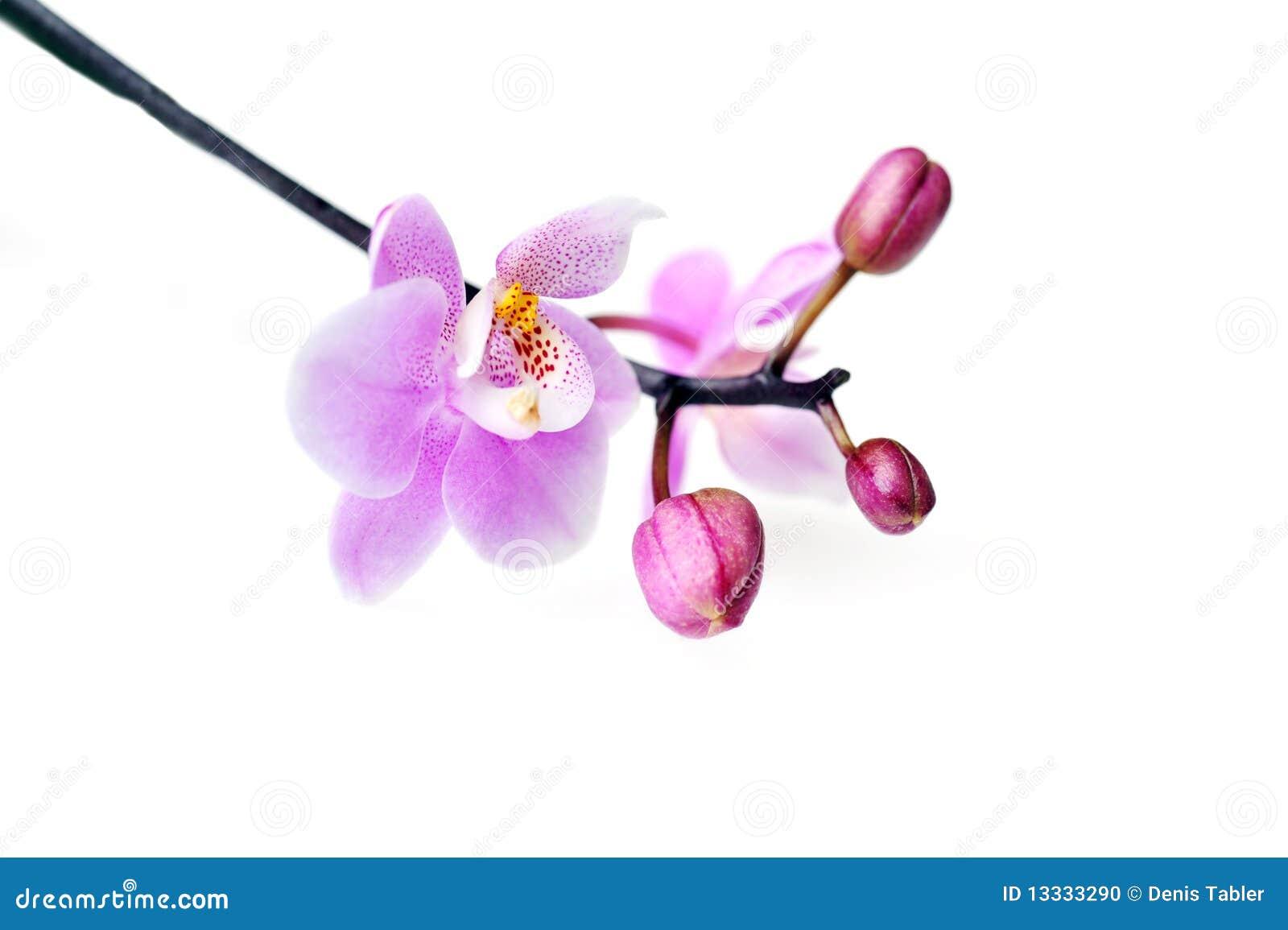 Pięknych kwiatów odosobniona orchidea