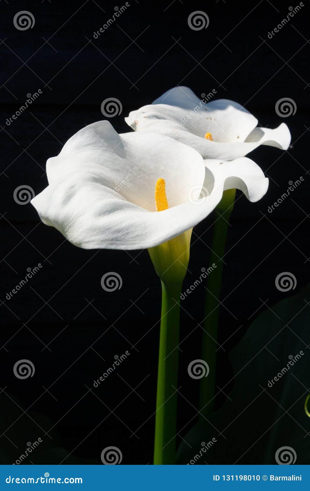 Pianta bianca della calla con i fiori su fondo nero, KE scuro