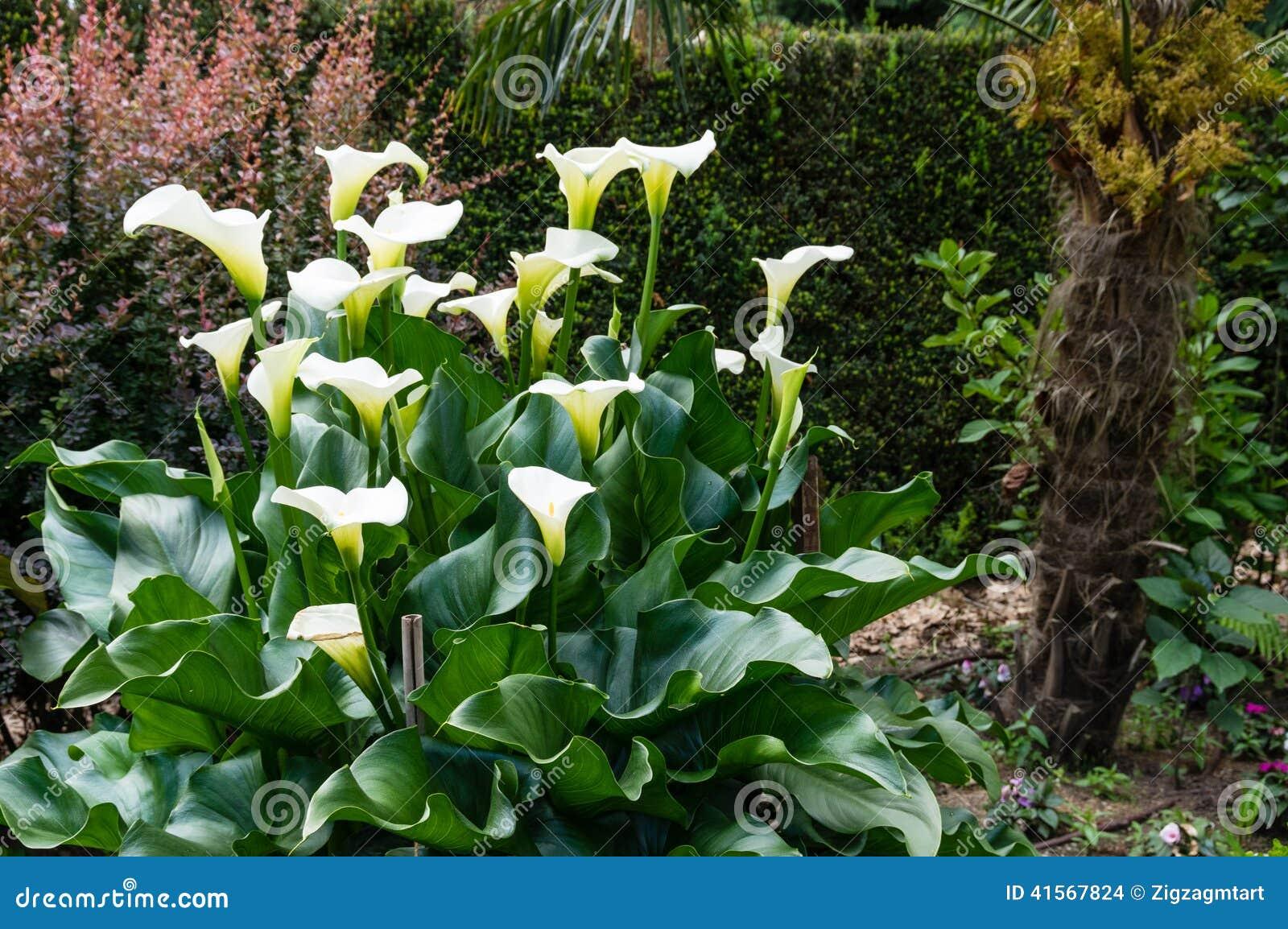 Pianta bianca della calla in fioritura fotografia stock for Calla pianta