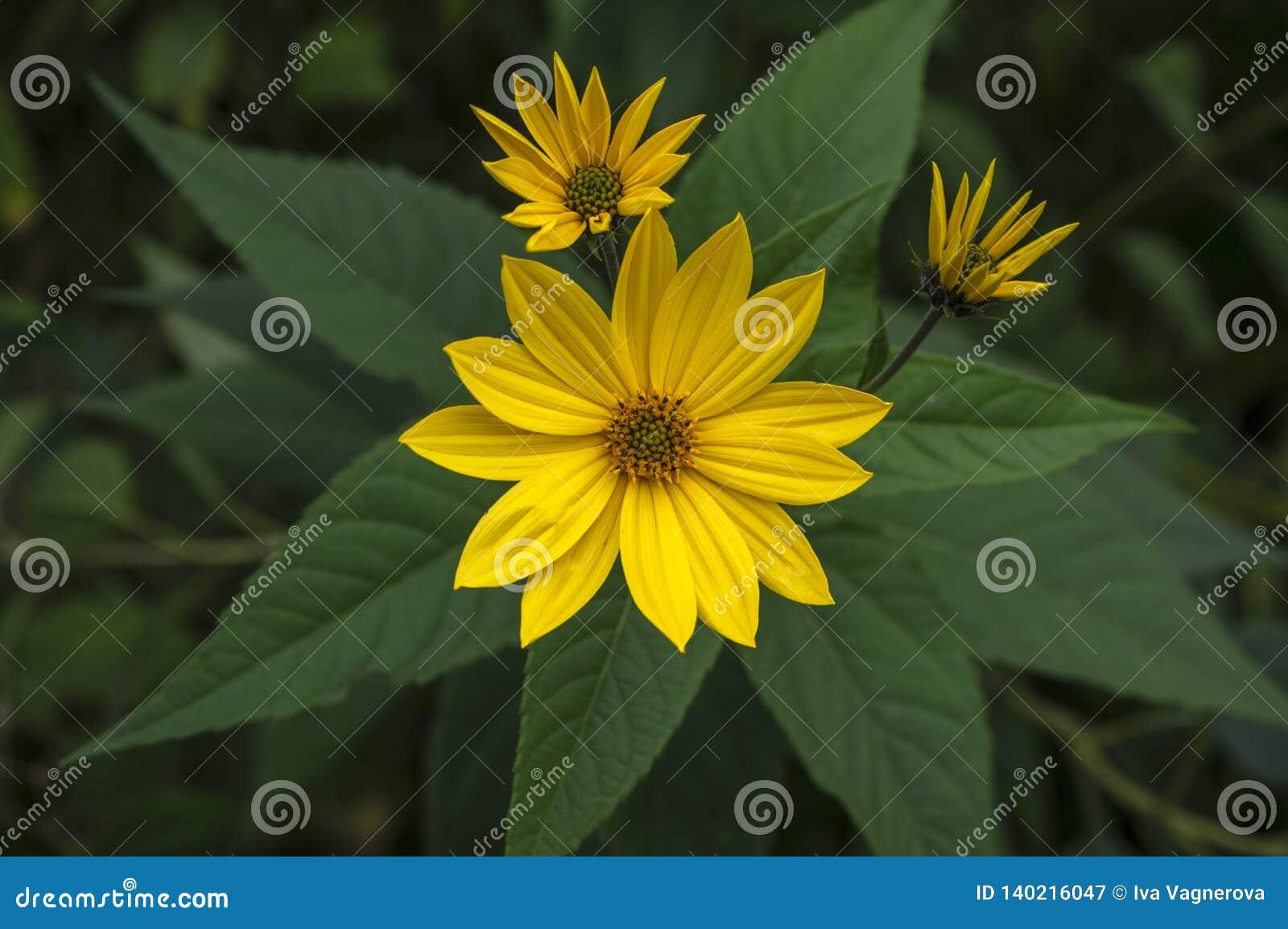 Fiori E Piante Commestibili pianta commestibile ornamentale di helianthus tuberosus in