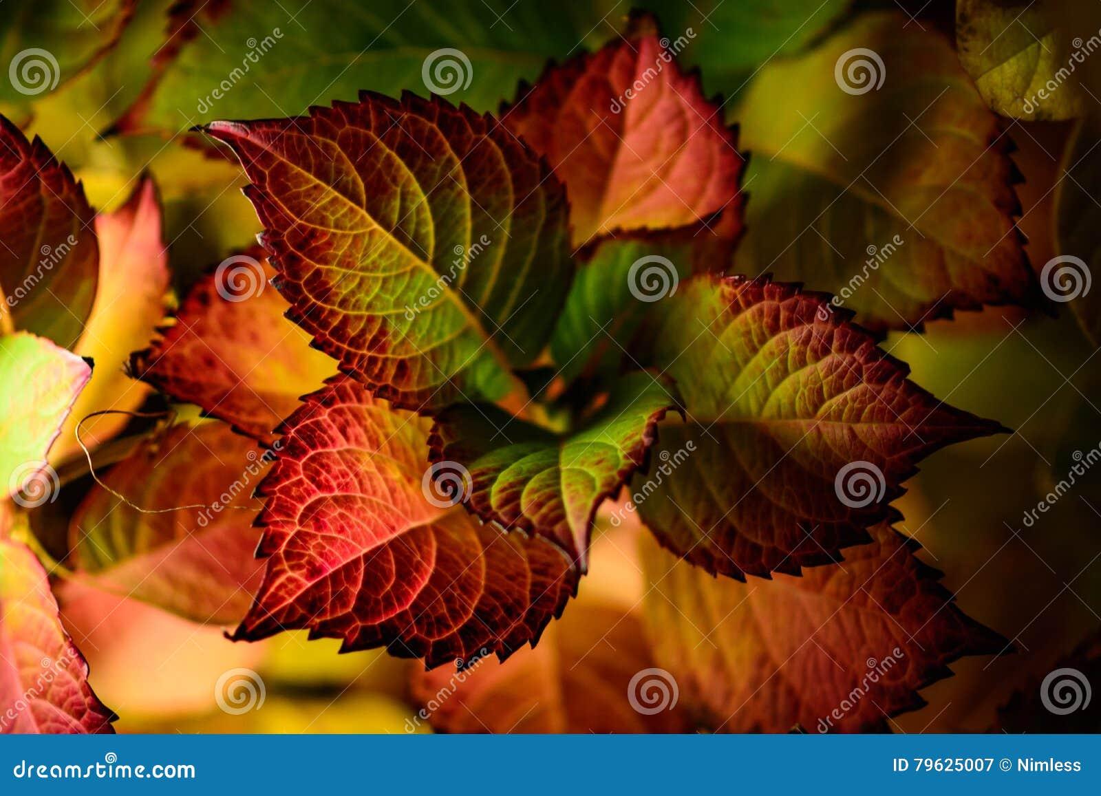 Pianta Foglie Rosse E Verdi pianta con le foglie rosse e verdi immagine stock - immagine