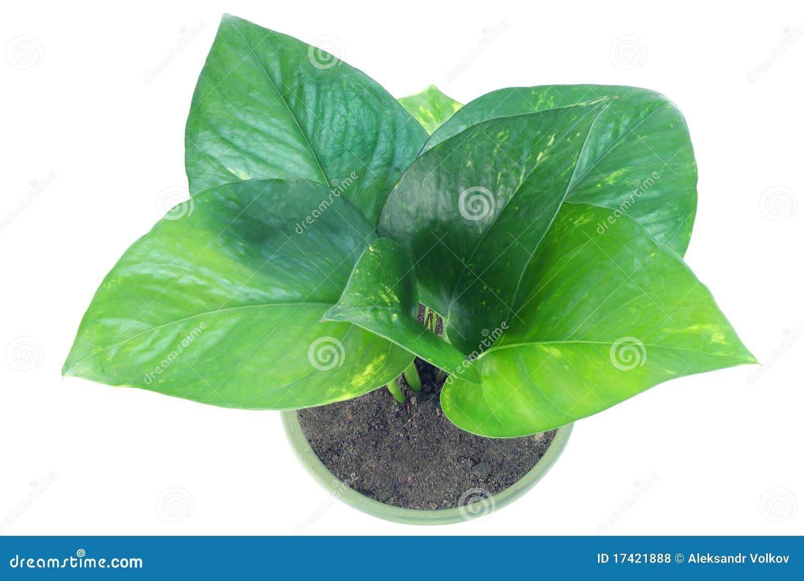 Pianta D'appartamento Verde Fotografie Stock Libere da Diritti - Immagine: 17421888