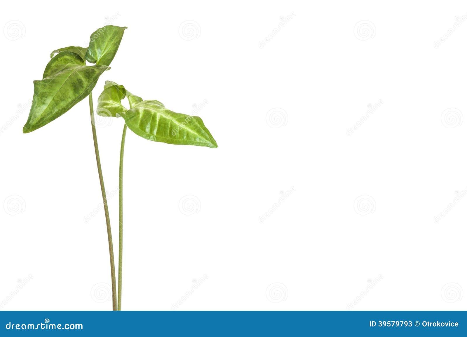 Piante Da Appartamento Syngonium.Pianta Da Appartamento Verde Immagine Stock Immagine Di Botanica