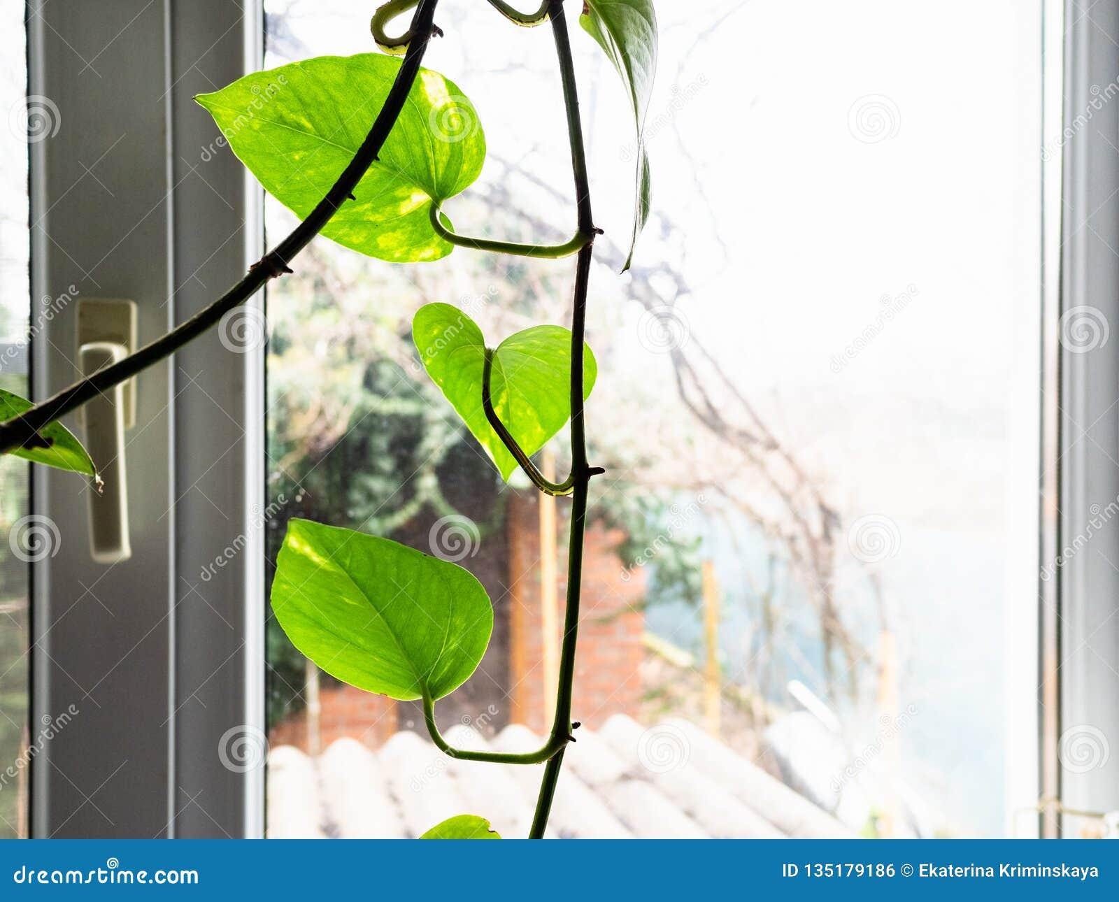 Edera Pianta Da Interno pianta da appartamento verde dell'edera della foglia e vista