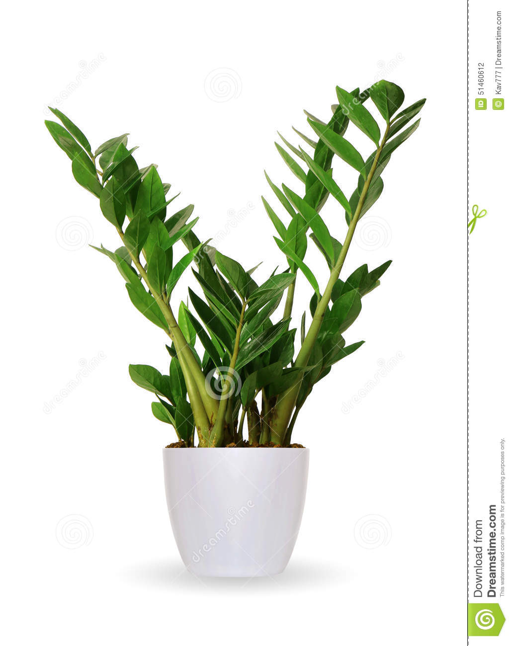 Pianta da appartamento zamioculcas una pianta in vaso for Pianta da pavimento verde