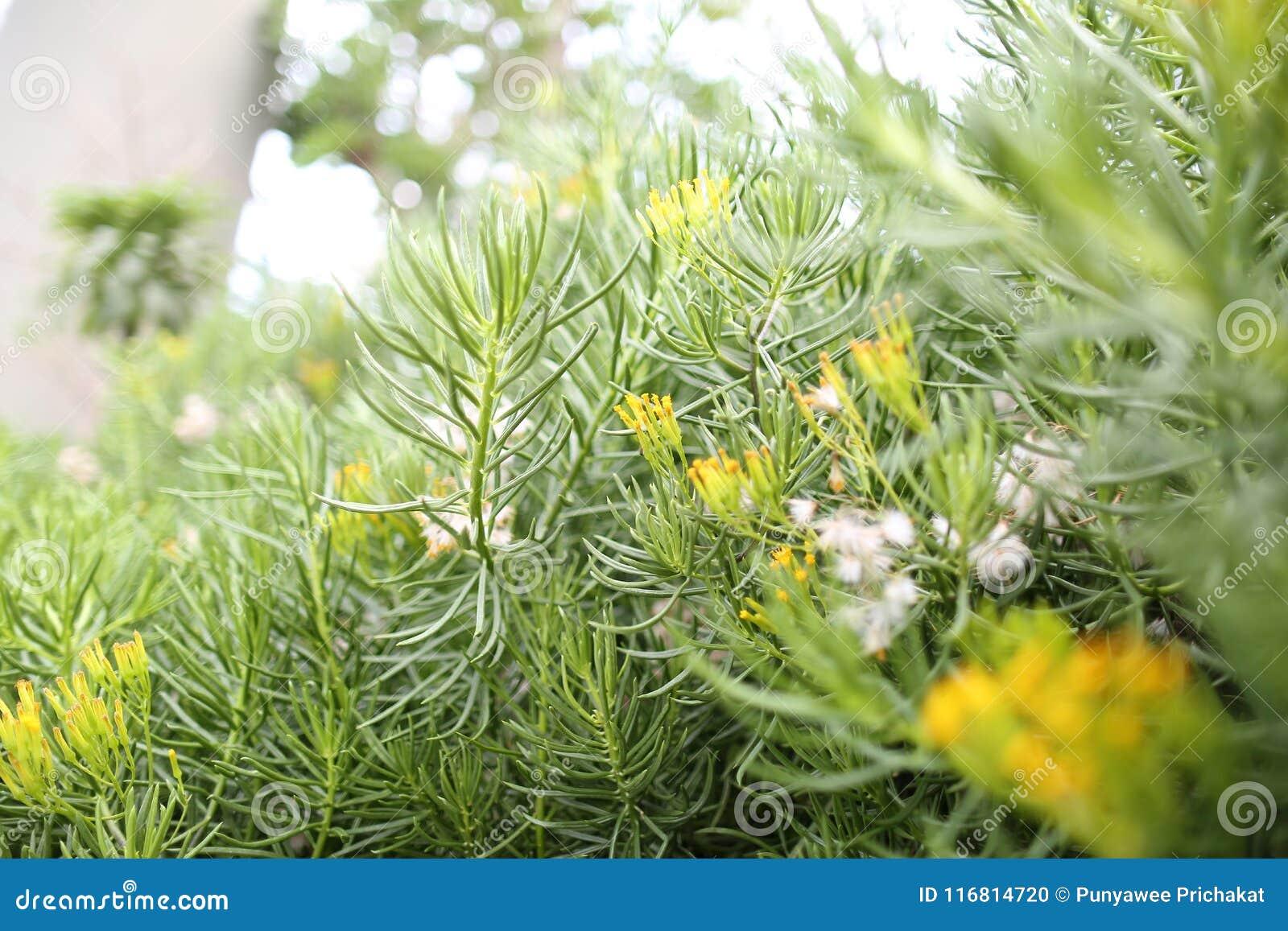 Pianta dei fiori gialli