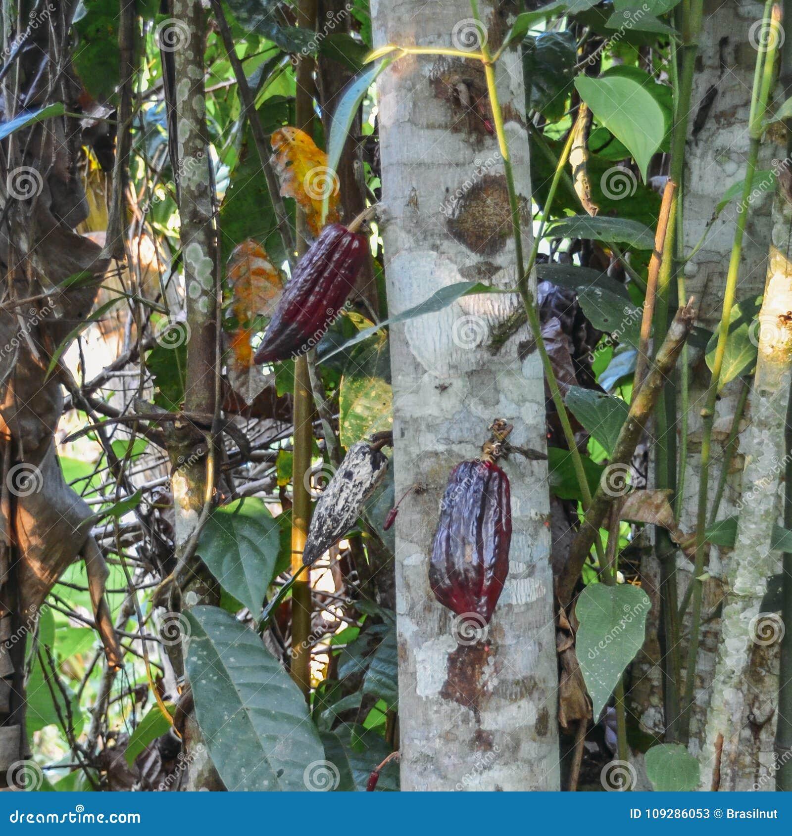 Pianta Del Cacao Sullalbero Nella Regione Amazzoniana Di Ecuador