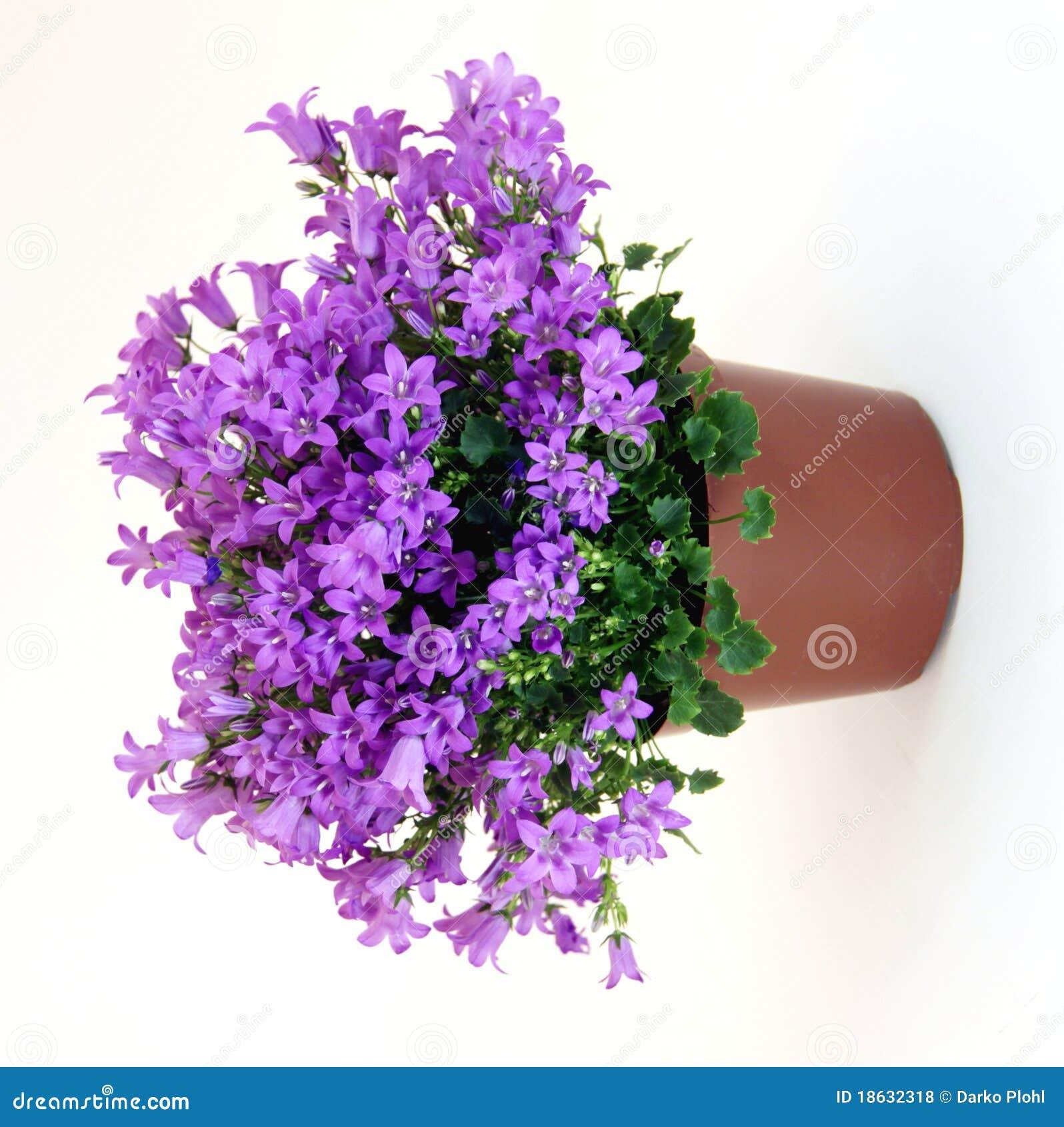 Pianta del campanula fotografie stock libere da diritti for Pianta rampicante con fiori viola a grappolo