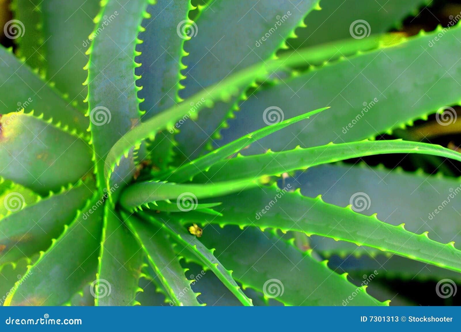 Pianta del Succulent dell aloe
