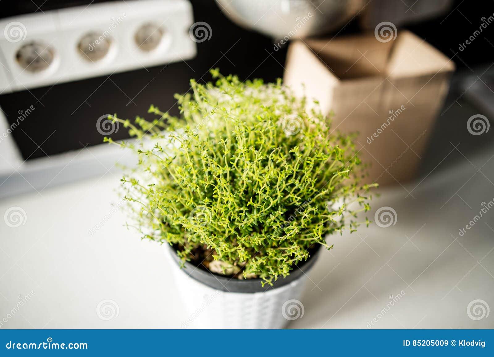 Pianta del timo in cucina immagine stock. Immagine di timo - 85205009