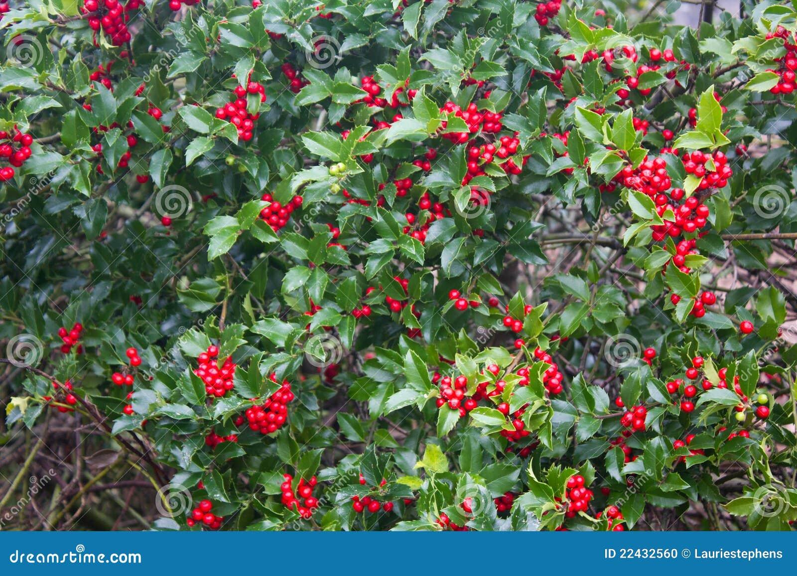 pianta dell 39 agrifoglio con le bacche rosse fotografia