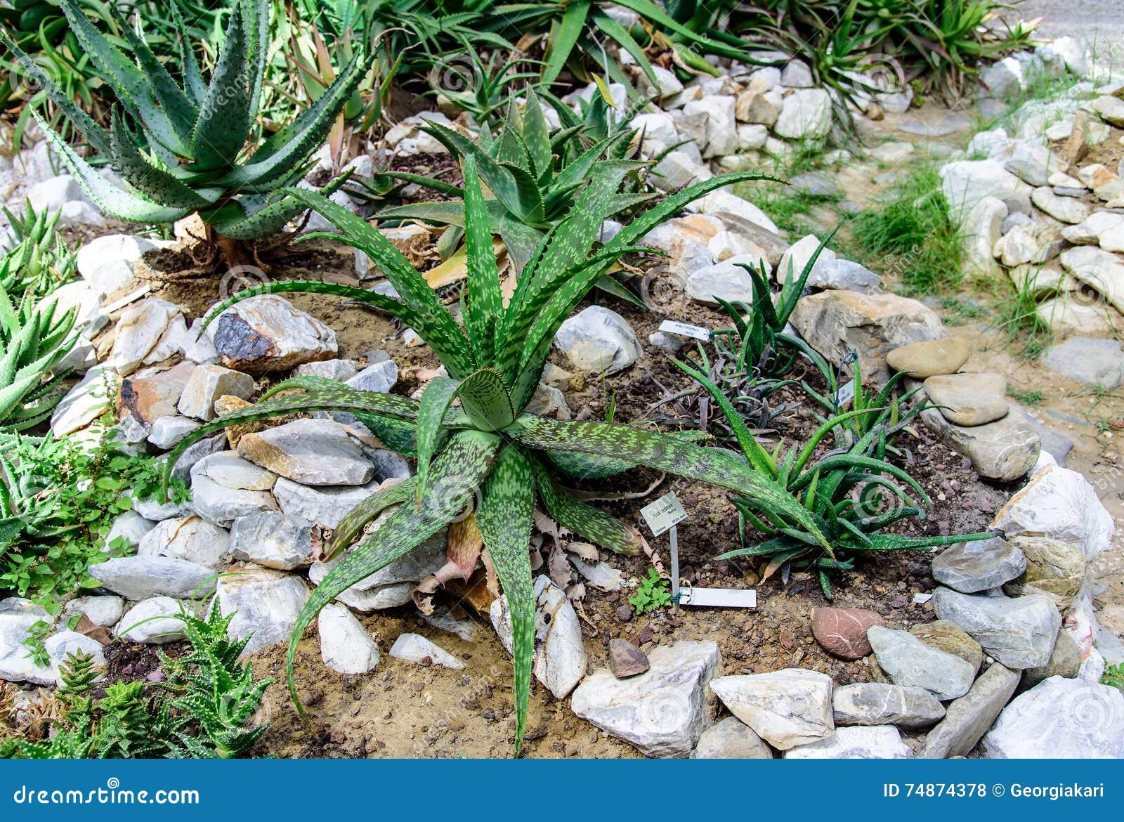 Aloe In Giardino pianta dell'aloe in un giardino fotografia stock - immagine