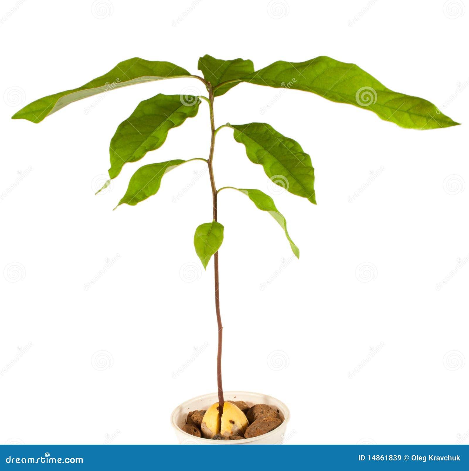 Pianta dell 39 avocado immagini stock libere da diritti for Pianta di avocado