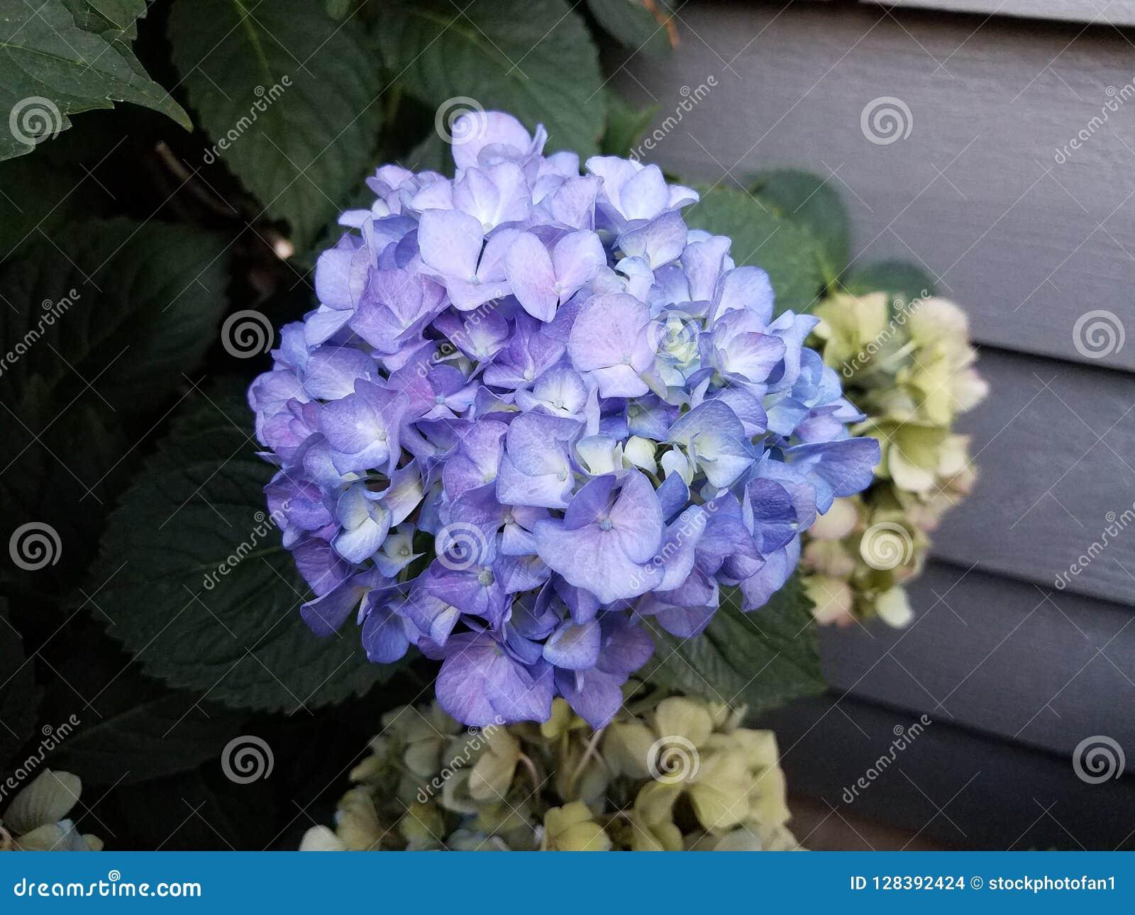 Fiori Blu E Bianchi.Pianta Dell Ortensia Con I Fiori Blu E Bianchi Fotografia Stock