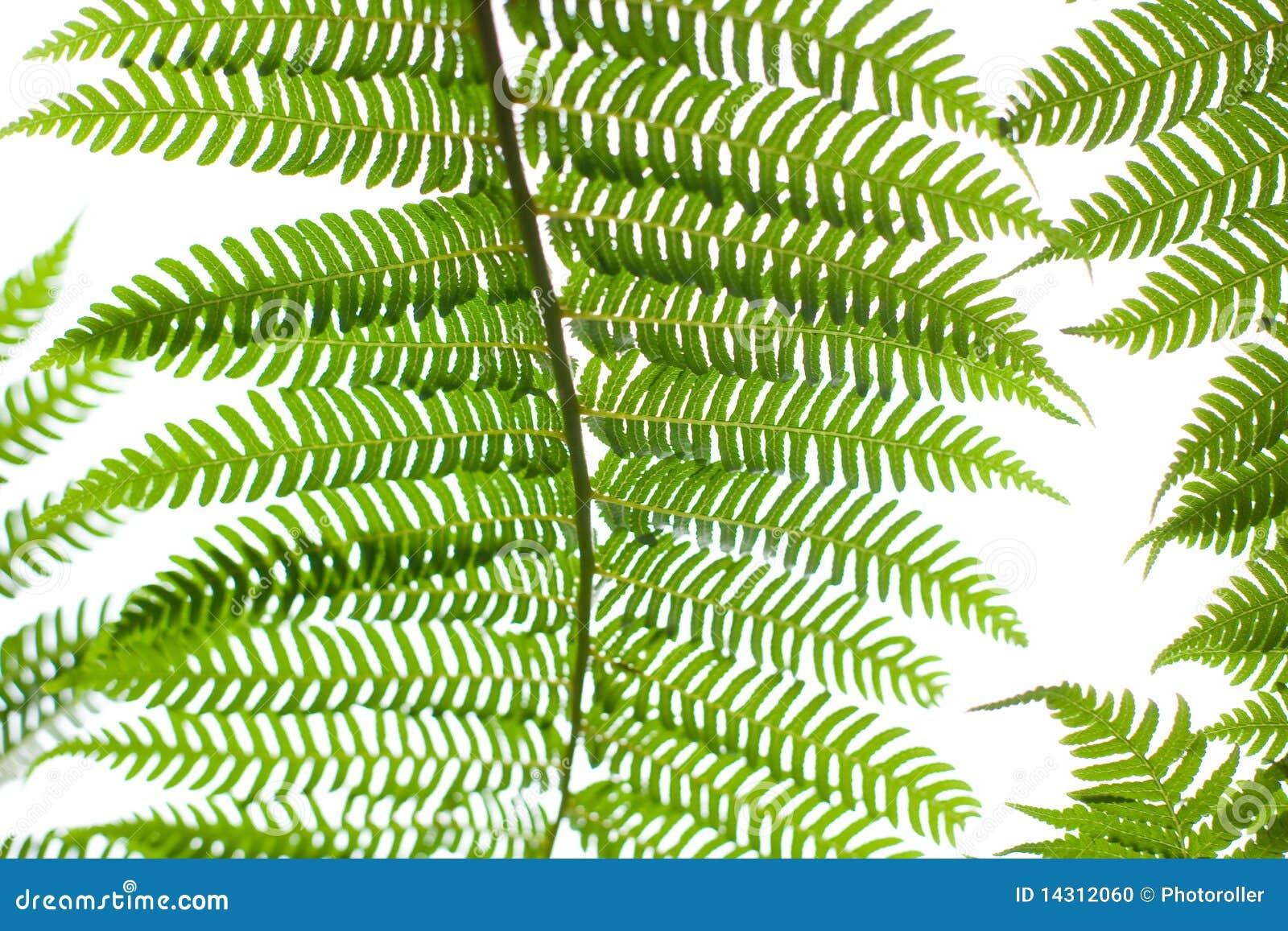 pianta della felce fotografia stock immagine 14312060