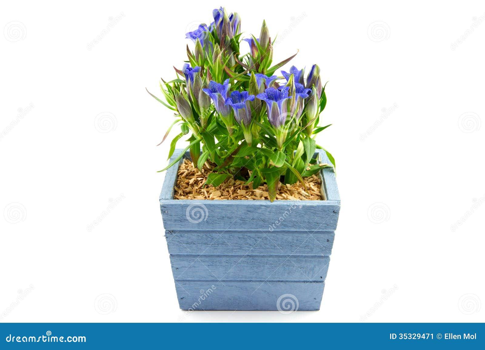 Pianta della genziana in un vaso di fioritura blu immagine for Vaso blu