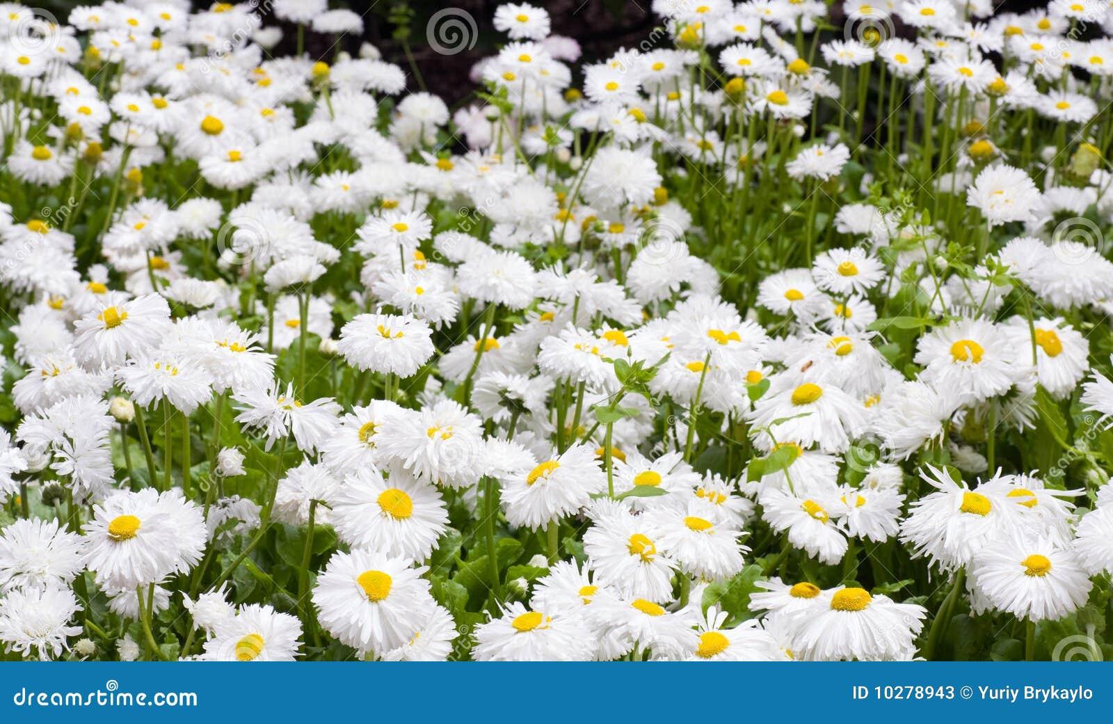Pianta della margherita fotografie stock immagine 10278943 for Margherita pianta
