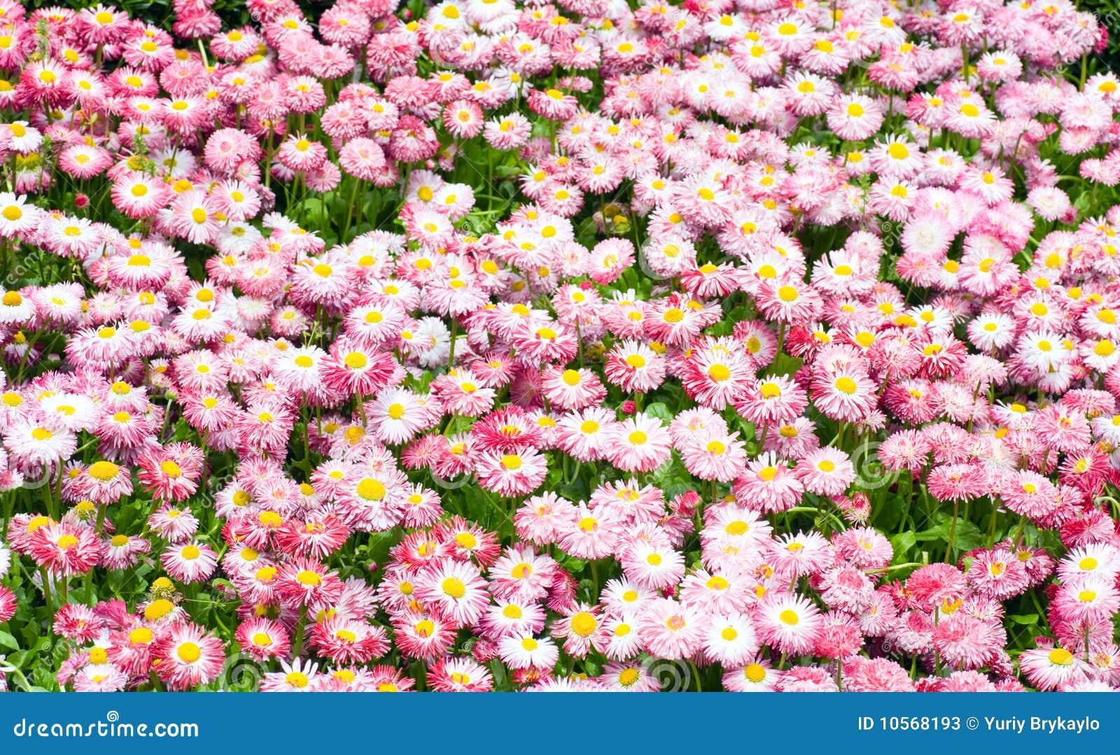 Pianta della margherita immagine stock immagine di for Margherita pianta