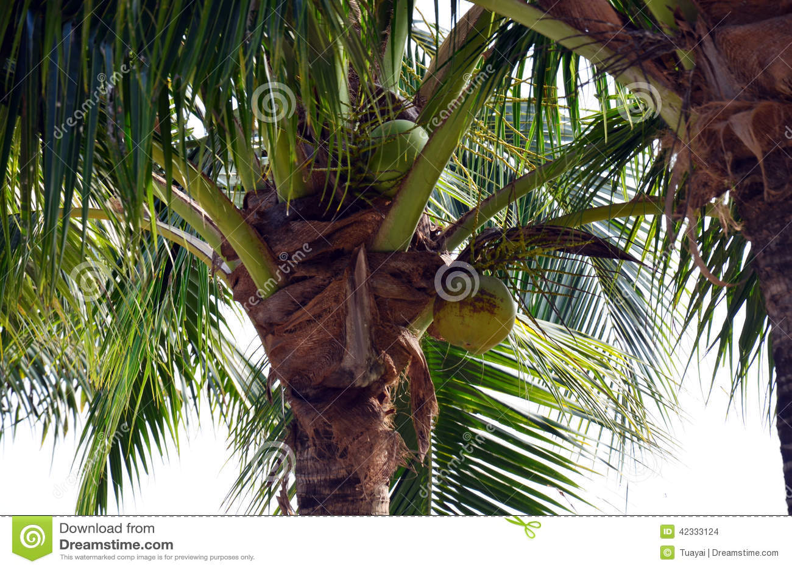 Pianta della noce di cocco fotografia stock immagine di for Pianta di cocco